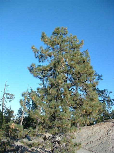 Coulter Pine Tree Facts, Distribution, Uses, Pictures
