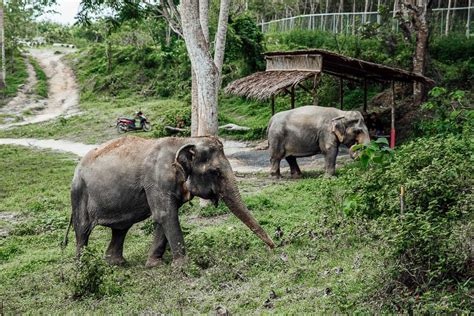 Ethical Tourism in Thailand - Phuket's First Elephant