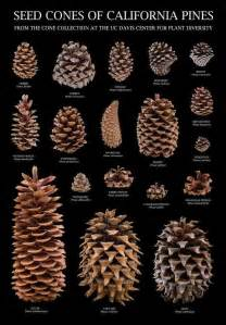 Seed cones of California pines