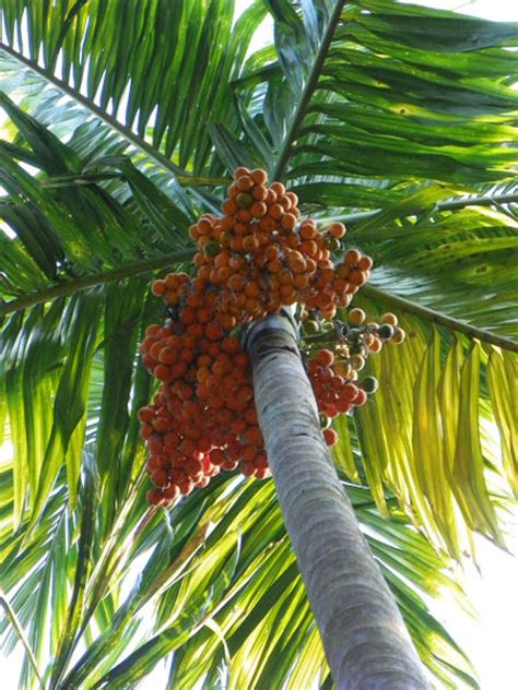 """""""Betel nut tree"""" Photography art prints and posters by"""