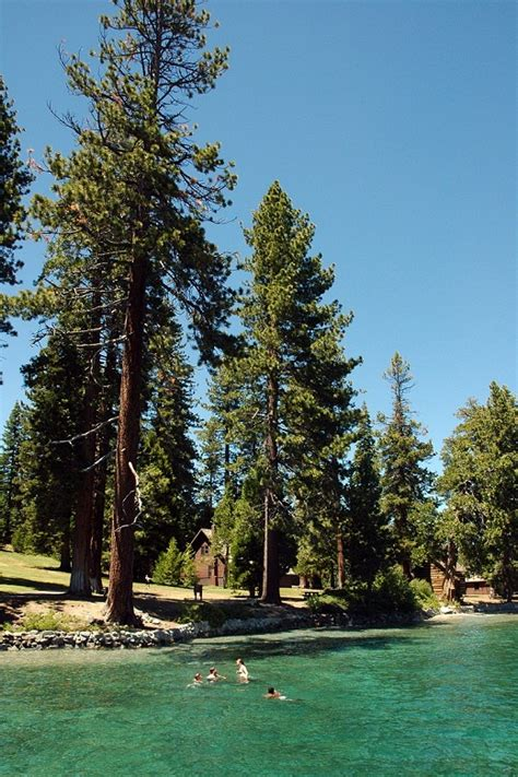 Sugar Pine Tree Facts, Identification, Distribution, Pictures