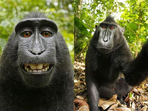 Wikimedia Stands Up for Monkey Photographer Rights